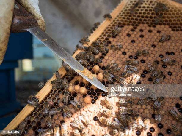 Beekeeper inspecting the frames for brood