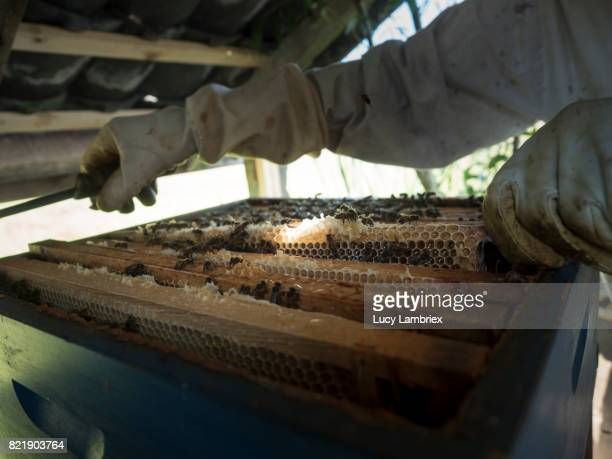Beekeeper inspecting the frames
