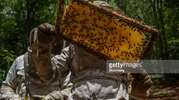 A beekeeper inspects a frame from a beehive at the Flor de Tajonal Cooperative farm in Felipe Carrillo Puerto Quintana Roo Mexico on Sunday May 21...