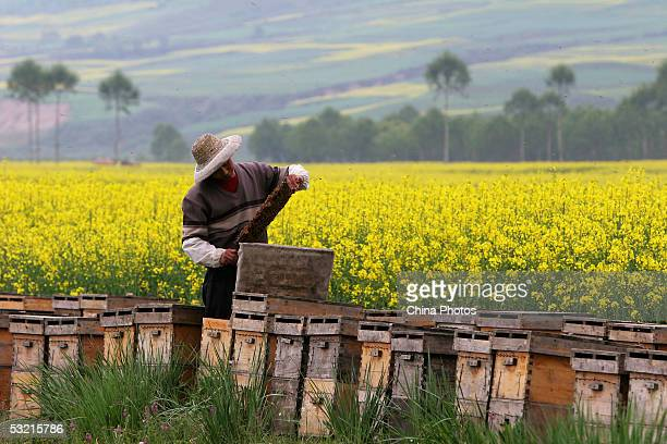 A beekeeper inspects bees at his apiary in a cole field on July 8 2005 in Huzhu County Qinghai Province China The beekeepers and their family travel...