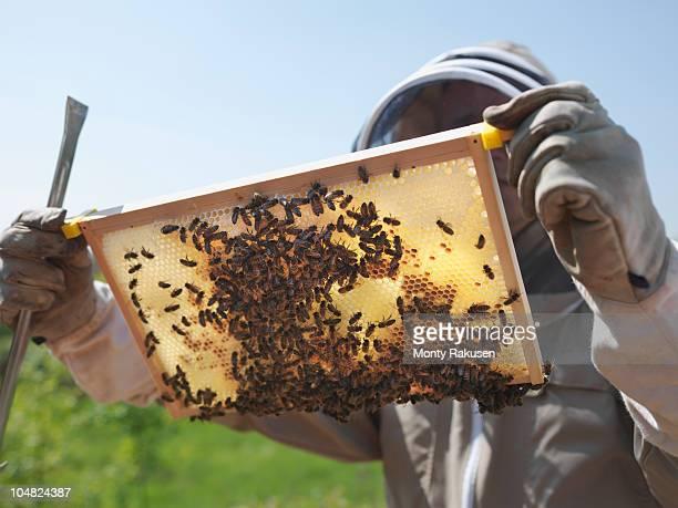 Beekeeper inspects honey combs