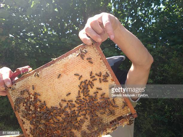 Beekeeper maintaining artificial beehive
