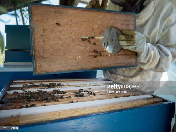 Beekeeper opening a beehive for inspection