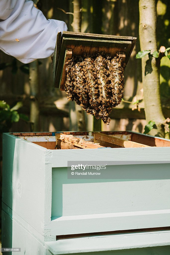 A beekeeper relocates a natural beehive : Stock Photo
