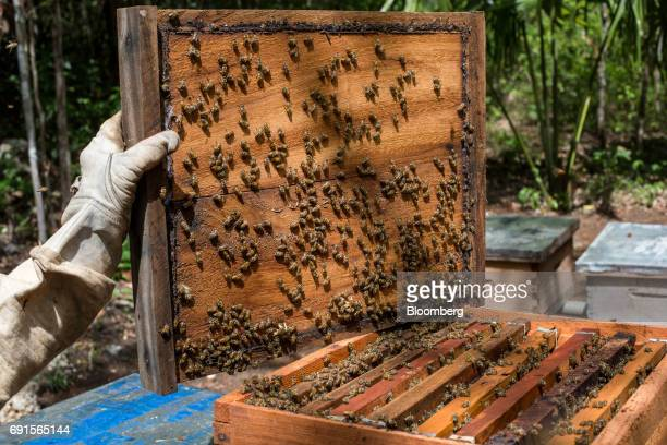A beekeeper tends to beehives at the Flor de Tajonal Cooperative farm in Felipe Carrillo Puerto Quintana Roo Mexico on Sunday May 21 2017 In 2016 291...