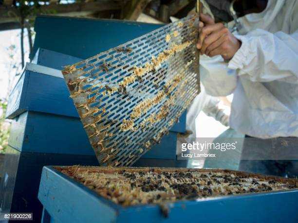 Beekeeper uncovering a beehive