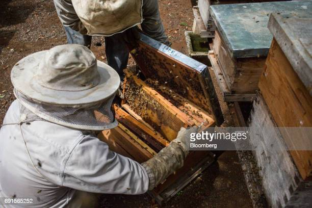 Beekeepers inspect a frame from a beehive at the Flor de Tajonal Cooperative farm in Felipe Carrillo Puerto Quintana Roo Mexico on Sunday May 21 2017...