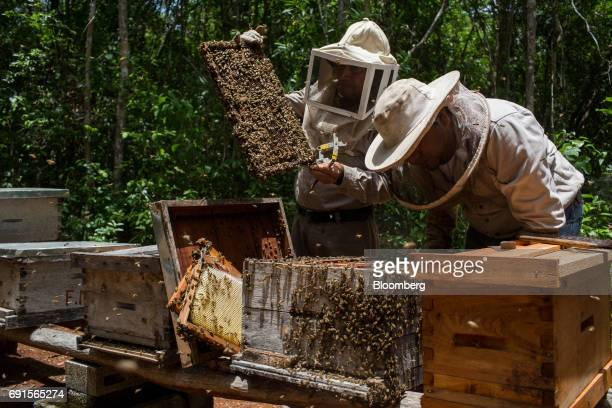 Beekeepers inspect frames from a beehive at the Flor de Tajonal Cooperative farm in Felipe Carrillo Puerto Quintana Roo Mexico on Sunday May 21 2017...