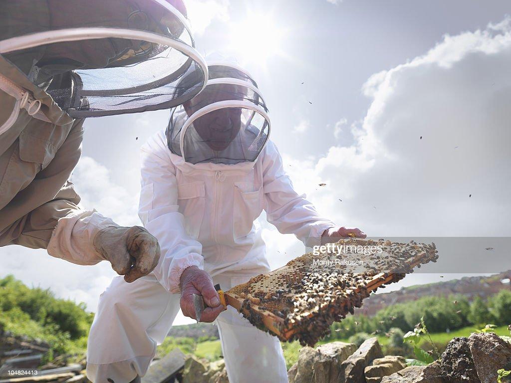 Beekeepers inspect honey comb