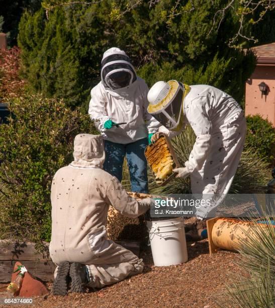 Beekeepers relocating honeybees from urban homeowner's property.