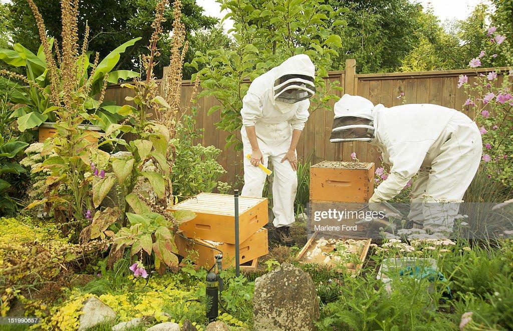 Beekeeping in backyard