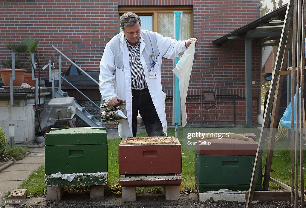 Beekeper Reiner Gabriel inspects his bee colony following a long, local winter in the garden of his home on April 25, 2013 in Blankenfelde, Germany. Local beekeepers claim their yearly loss rates within their bee populations has gone from an average of 10% per year to 30% per year over the last 10 years, though they are unsure whether the cause lies with a mite and a virus it might be spreading or with the increased use of certain pesticides by local farmers. According to a recent report prepared by Greenpeace seven pesticides currently in use in Europe present a real danger to bees. Bees are essential in nature in pollenating a wide variety of plants and trees.