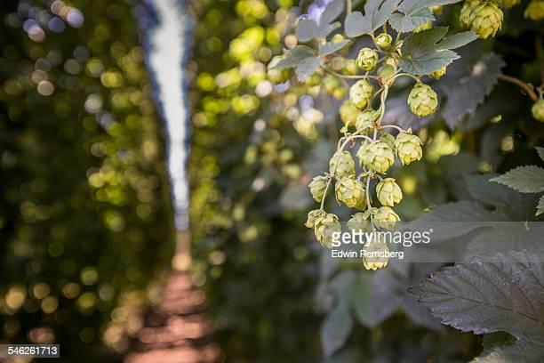 Beer hops on the vine