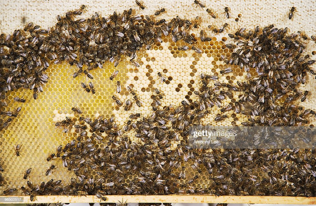 Bees and honeycomb : Stock Photo
