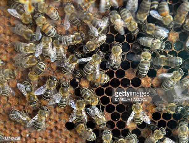 Bees are pictured on a honey gofer in Bucharest on April 4 2014 Bee venom to combat multiple sclerosis pollen for indigestion honey to heal wounds...