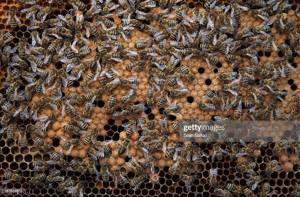 Bees congregate on a honeycomb filled with the eggs of future bees in the colony of beekeper Reiner Gabriel in the garden of his home near Berlin on April 25, 2013 in Blankenfelde, Germany. Local beekeepers claim their yearly loss rates within their bee populations has gone from an average of 10% per year to 30% per year over the last 10 years, though they are unsure whether the cause lies with a mite and a virus it might be spreading or with the increased use of certain pesticides by local farmers. According to a recent report prepared by Greenpeace seven pesticides currently in use in Europe present a real danger to bees. Bees are essential in nature in pollenating a wide variety of plants and trees.