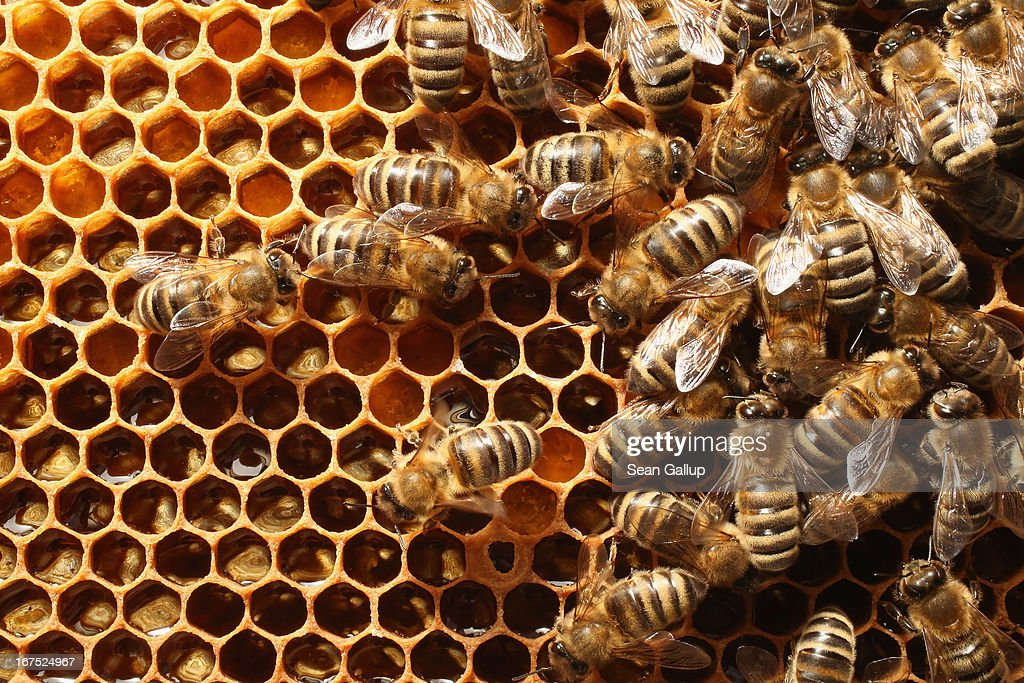 Bees congregate on a honeycomb in the colony of beekeper Reiner Gabriel in the garden of his home near Berlin on April 25, 2013 in Blankenfelde, Germany. Local beekeepers claim their yearly loss rates within their bee populations has gone from an average of 10% per year to 30% per year over the last 10 years, though they are unsure whether the cause lies with a mite and a virus it might be spreading or with the increased use of certain pesticides by local farmers. According to a recent report prepared by Greenpeace seven pesticides currently in use in Europe present a real danger to bees. Bees are essential in nature in pollenating a wide variety of plants and trees.