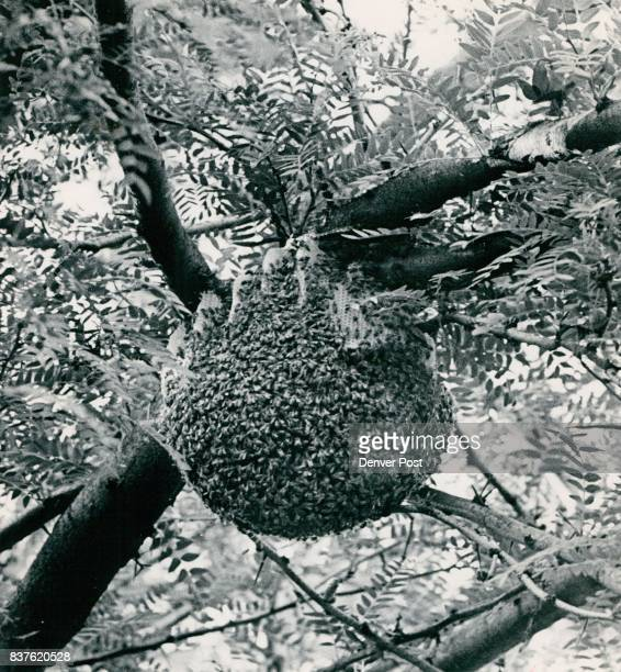 Bees Doing Business In The Open This colony of between 15000 and 20000 bees has nest ed in a tall locust tree at 1177 Pontiac St suffering fron the...