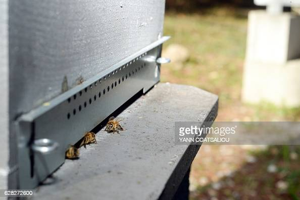 Bees enter in an apiary at the laboratory of the French Agency for Food Environmental and Occupational Health Safety on December 7 2016 in Sophia...