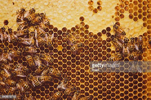 Bees feeding cells with honey honeycomb