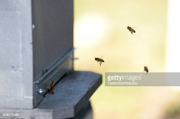 Bees fly next to an apiary at the laboratory of the French Agency for Food Environmental and Occupational Health Safety on December 7 2016 in Sophia...