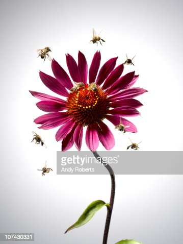 Bees flying around blooming flower : Stock Photo