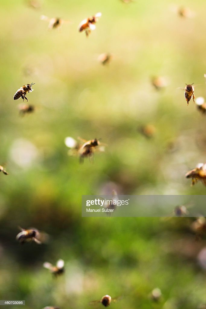 Bees flying, close up