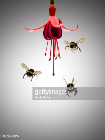 Bees flying near blooming flower : Stock Photo