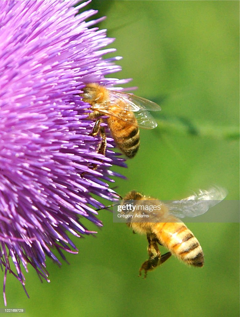 Bees harvesting pollen from flower : Stock Photo