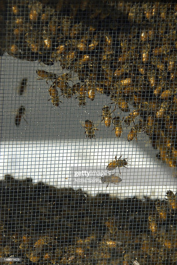 Bees in a beehive : Stock Photo
