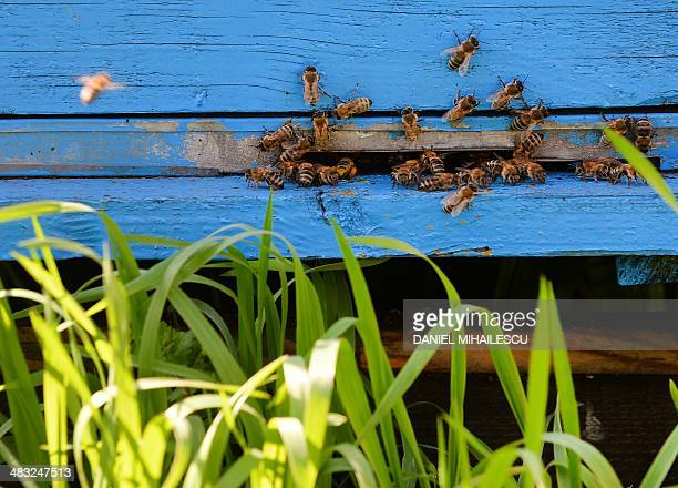 Bees on a hive are pictured near Bucharest on April 4 2014 Bee venom to combat multiple sclerosis pollen for indigestion honey to heal wounds the...