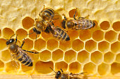 Close-up of bees on honeycomb in apiary in the summer.
