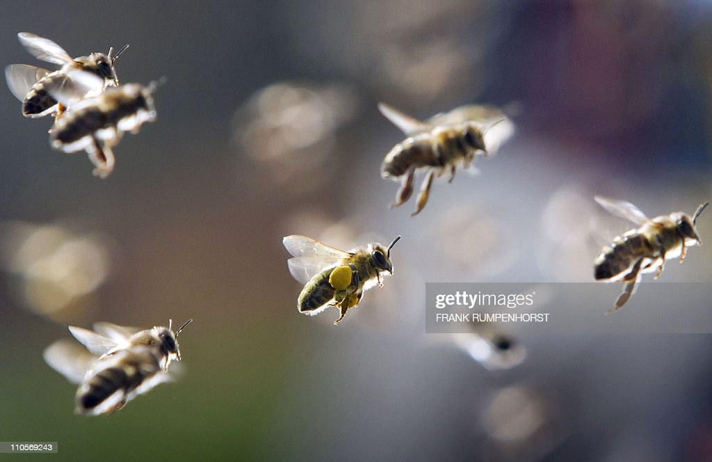 Bees, partly loaded with pollen, return to their hive on March 21, 2011 in Frankfurt/Main, central Germany. Meteorologists forecast sunshine and mild temperatures up to 13 degrees Celsius on the first day of spring. AFP PHOTO / FRANK RUMPENHORST GERMANY OUT