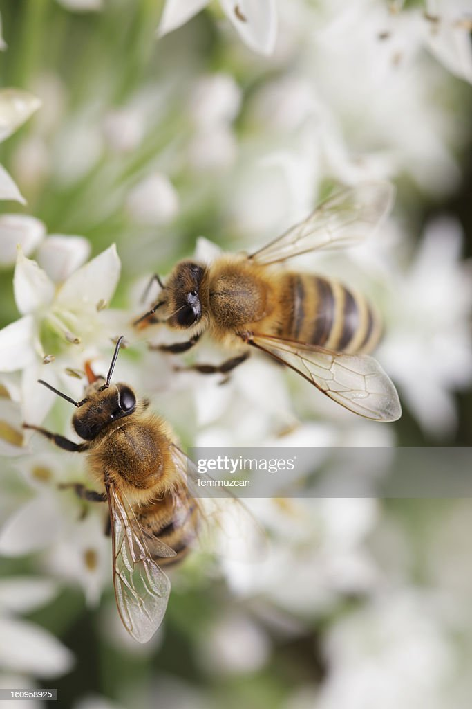 Bees : Stock Photo