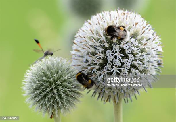 Bees polinating a globe thistle