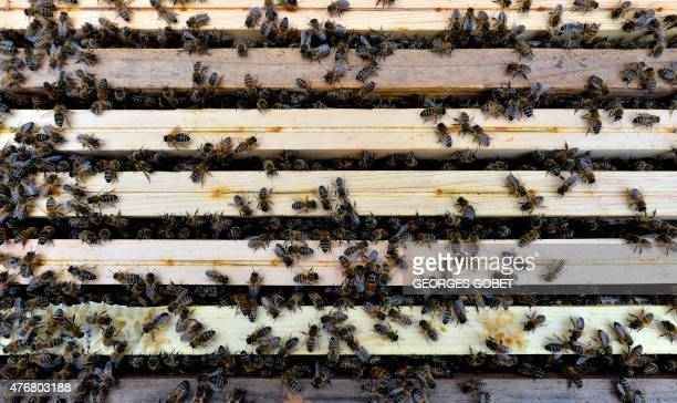 Bees swarm outside a hive in the Oblats Park in Nantes on June 10 2015 The UNAPLA has put two honey houses at the service of the region's beekeepers...