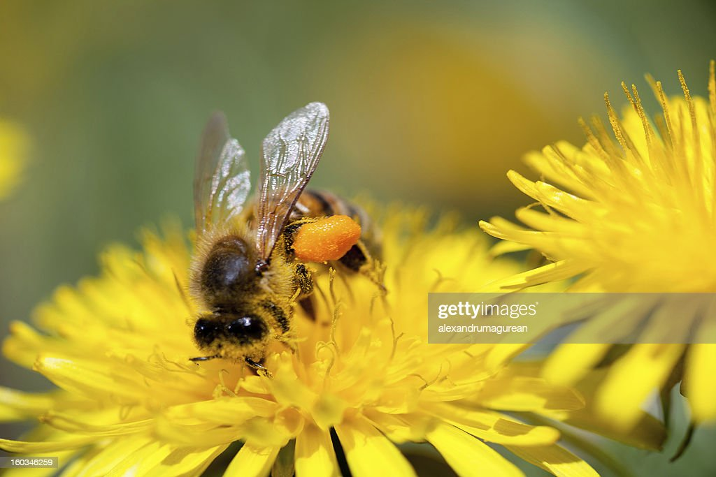 Bees Working : Stock Photo