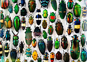 Beetle collection, beautiful colors and shapes, from all parts of the world.