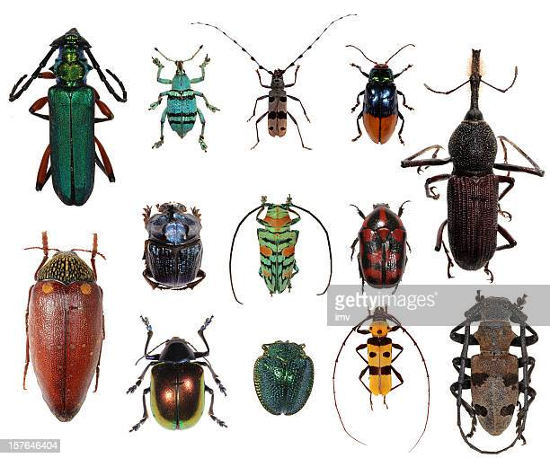 Beetle collection XXXL