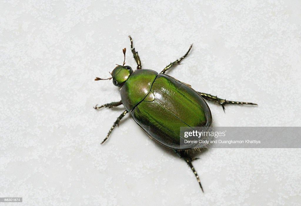 Beetle : Stock Photo