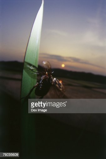 Beetle taking off from blade of grass, close up : Stock Photo