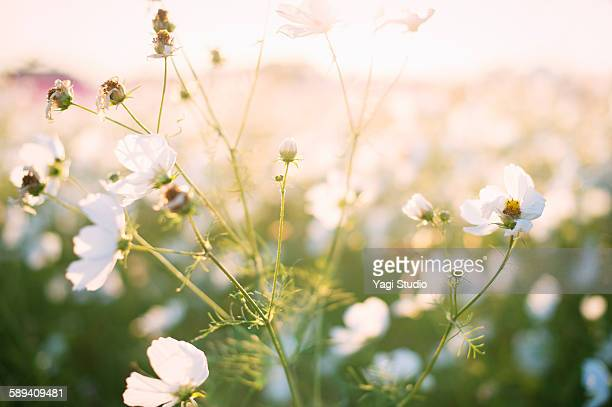 Before sunset of cosmos flowers