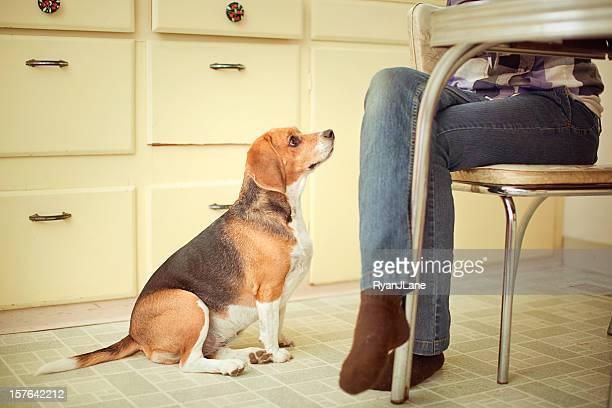 Betteln Beagle am Tisch
