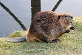 Mendicité Beaver