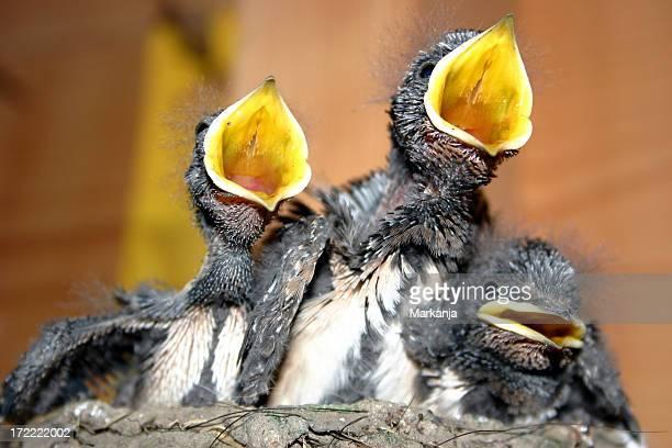 Begging swallows