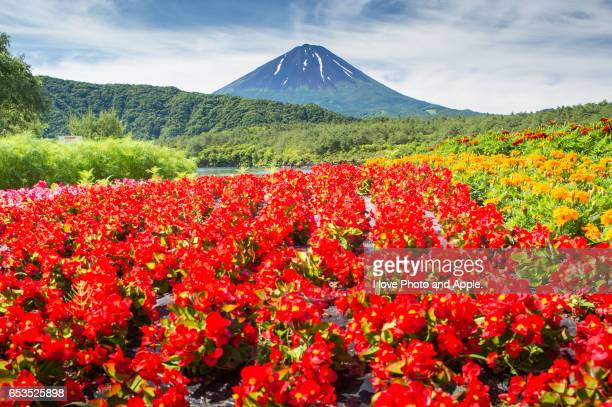 Begonia and Fuji