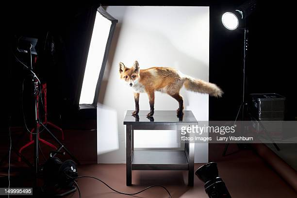 A behind the scenes look at a photo shoot of a stuffed fox