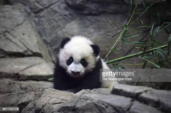 Bei Bei the giant panda cub is seen in an enclosure at the Smithsonian National Zoological Park on Tuesday December 15 2015 in Washington DC He was...