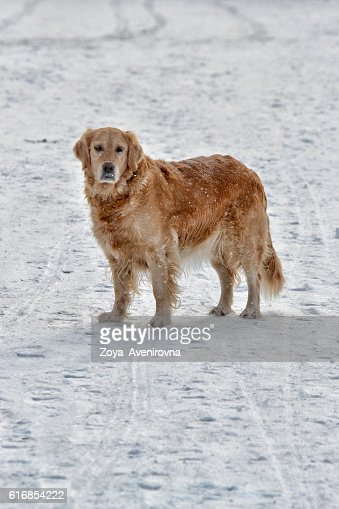 Beige dog : Stock Photo