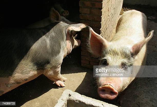 Pigs are seen in a pen on the outskirts of Beijing 27 April 2007 A mysterious pig epidemic is spreading in south China's Guangdong province and has...